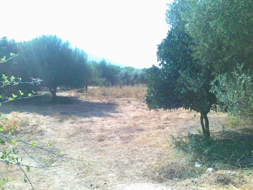 Land plot with established olives near Karavomilos and the sea