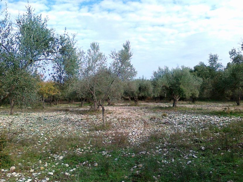 Olive grove near Sami with great potential